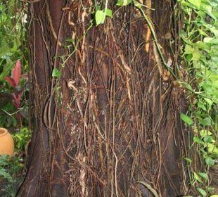 Natur in der Raucherecke Anantara Bophut Resort & Spa