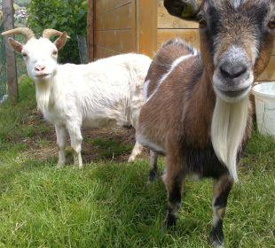 Ziegen im Streichelgehege Bauernhof Weidinghof