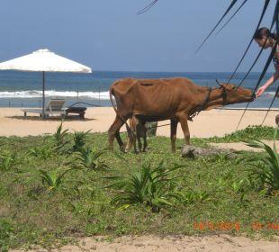 Die Kühe mögen sehr gerne Bananen Wunderbar Beach Club Hotel