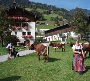 Unsere Pinzgauer-Kühe Biobauernhof Aubauer