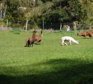 Lamas auf dem Hof Oberversanthof