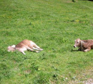 Ruhende Kühe auf der Wiese Landhaus Sammer Hotel Garni