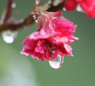 Blütenpracht auf dem Freisitz nach Regenguss Ferienwohnung Haus Rosenrot