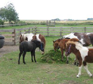 Die Ponys bei der Fütterung  Ferienhaus Wattkuckuck