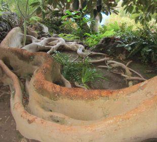 Der Australische Ficus Hotel Hacienda San Jorge