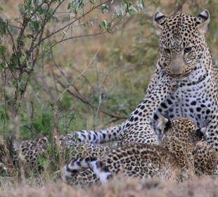 Leopardenfamilie am Spielen Mara Bush Camp