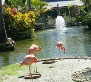 Flamingos  Iberostar Bávaro Suites
