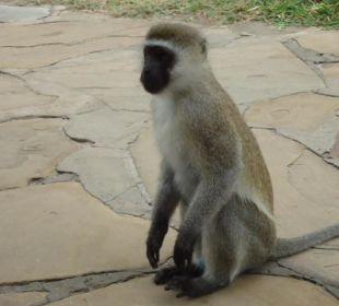Vorsicht Affe; nicht füttern Hotel Diani Sea Lodge