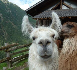 Lamas vom Oberversanthof Oberversanthof