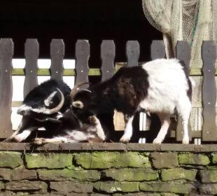 Ziegen im Garten Hotel Heidsmühle