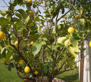 Ein Zitronenbaum begrüsst uns