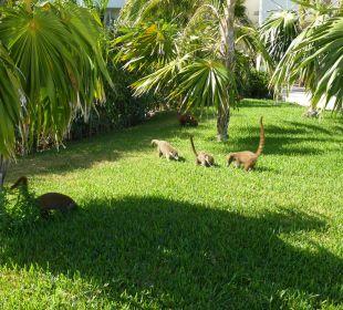 Nasenbären Secrets Maroma Beach Riviera Cancun