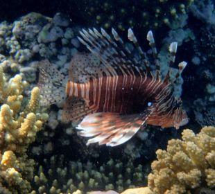 Feuerfisch am Hausriff Hotel Iberotel Makadi Beach