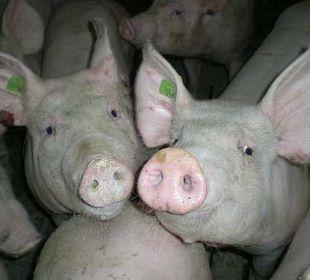 Die Schweine  Bauernhof Dorfhof Bauer