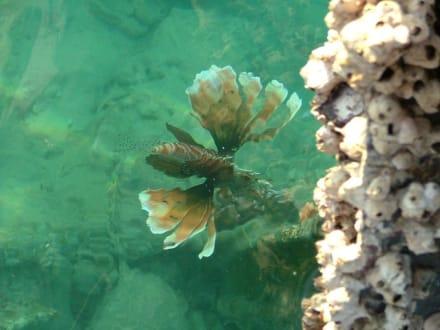 Abendlicher Besucher des Hausriffs - Schnorcheln Coral Beach Hurghada