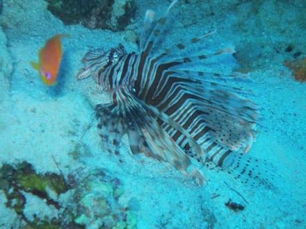 ein sehr fotogener Rotfeuerfisch - Tauchen Nabq Bay