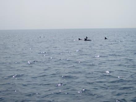 Delphine beim Schnorchelausflug - Delfin Tour Nord-Malé-Atoll