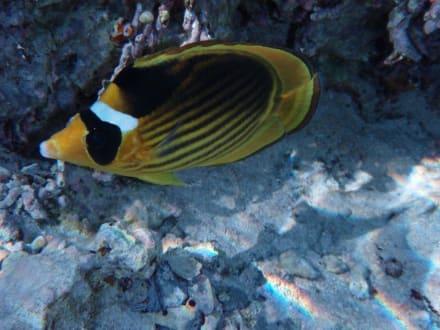 Wimpelfisch - Schnorcheln Hausriff Radisson Resort El Quseir