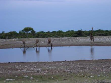 Giraffen - Etosha Nationalpark
