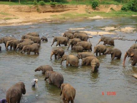 Kandy Tour mit Antony - Elefantenwaisenhaus Pinnawela