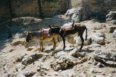Esel - Akropolis von Lindos