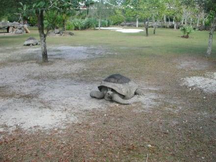 Riesenschildkröte - Zoo Miami