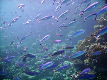 Fische am Hausriff Hotel Baron Resort - Schnorcheln Sharm el Sheikh