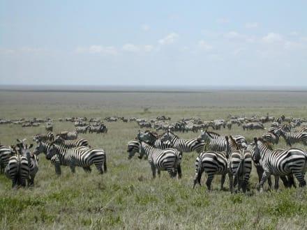 Zebras in der Serengeti - Serengeti Nationalpark