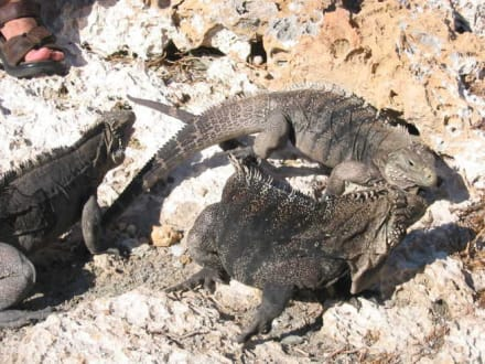 Leguan Insel - Leguaninsel Cayo Iguana