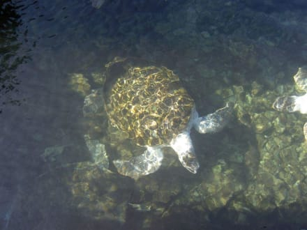 Kröten - Schnorcheln Puerto Aventuras