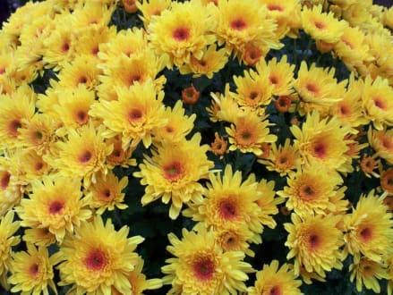 Chrysanthemen Show - Chrysanthema