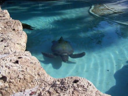 Wasserschildkröte - Sea World