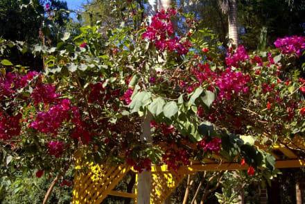 Blüten in der Wüste - Botanischer Garten Assuans - Kitchener Island