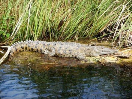 Black River Krokodil - Bootstour Black River