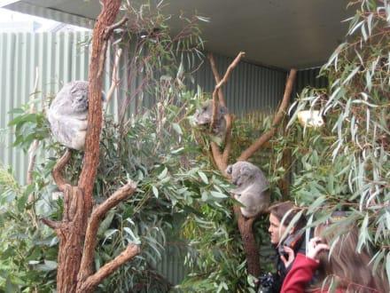 Koalas hautnah - Wildlife World
