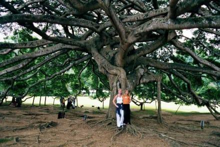 Ficus Benjamina - Botanischer Garten Peradeniya