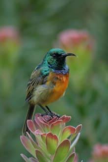 Sonnenvogel auf Proteablüte - Botanischer Garten Kirstenbosch