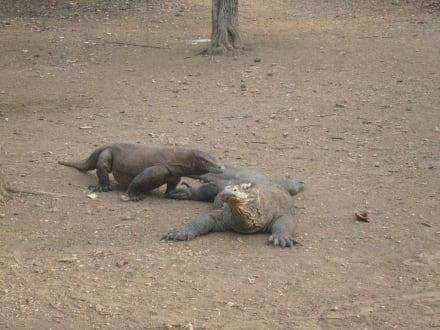 Warane auf Rinca - Nationalpark Komodo