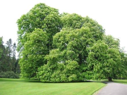 Blühender Kastanienbaum - Villa Hügel
