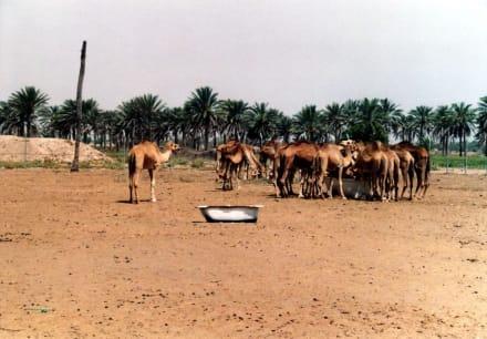 Kamelherde - Suwaiq Camel Breeding Center
