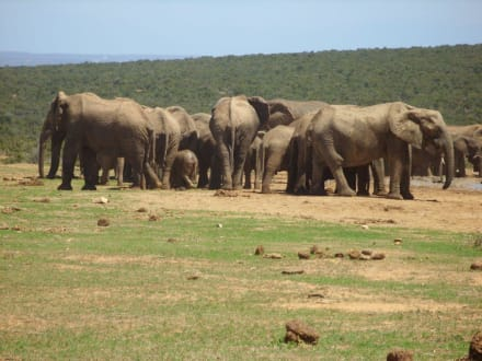 Viele Elefanten - Addo Elephant Park