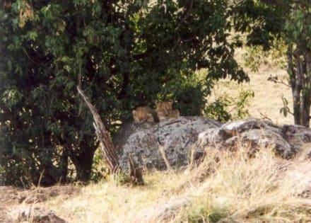 Löwenbabies - Masai Mara Safari