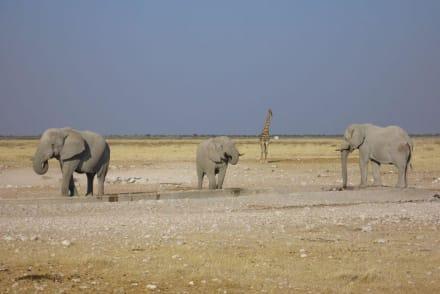 An der Tränke! - Etosha Nationalpark