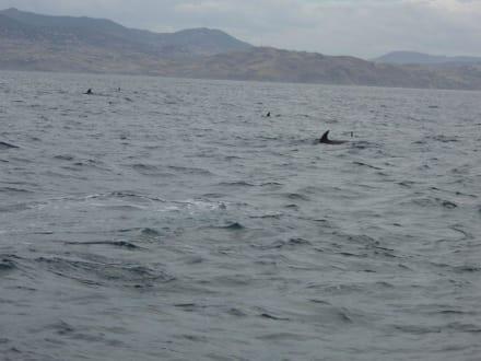 Delfine vor der Küste Marokkos - Whale Watching Tarifa