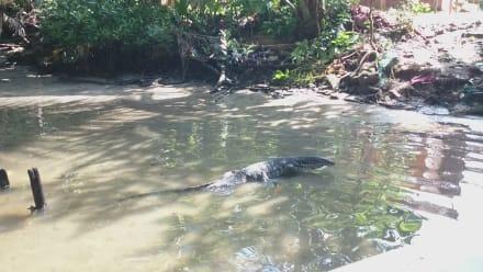 Varan Im Bentota Fluss - Bentota Fluss- und Mangroven Tour