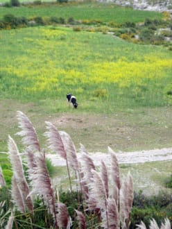 Weidende Kuh - Colca-Canyon