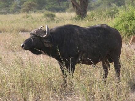 Wasserbüffel - Kimana Reservat