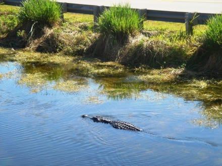 Alligator in freier Wildbahn - Everglades National Park