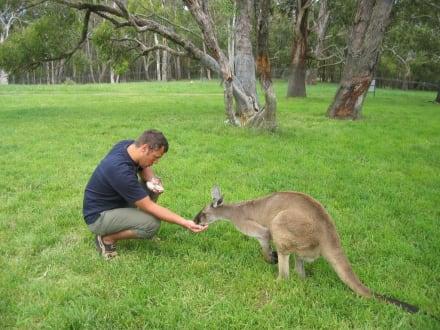 Kängurus - Cleland Wildlife Park
