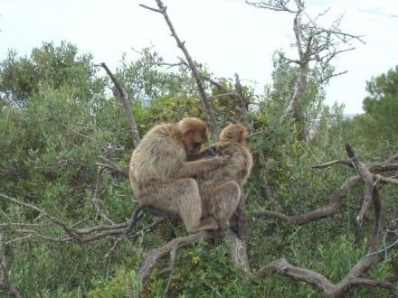 Die Affen von Gibraltar - Affenfelsen und St. Michael's Cave